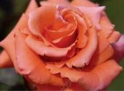 ROSAL ALBERTA ® Femartina