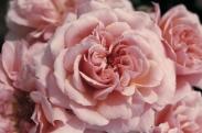 Rosales para Macizos de Porte Alto y Flor Doble