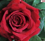 ROSAL BOTERO ® - Meiafonesar (Trepador)