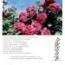 ROSAL LOLITA LEMPICKA® Meizincarosar (Trepador)