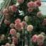 ROSAL PIERRE DE RONSARD ® - Meiviolin (Trepador)