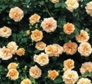 ROSAL POLKA ® - Meitosie (Trepador)