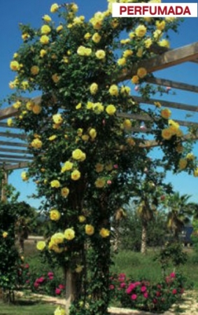 ROSAL RIMOSA ® - Meigro-nurisar (Trepador)