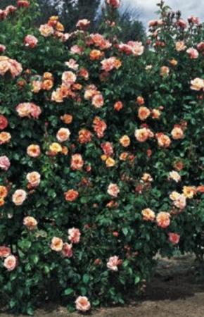 ROSAL SORBET FRUITÉ ® - Meihestries (Trepador)