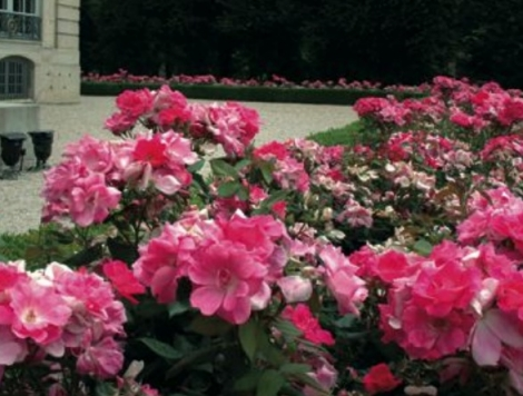 ROSAL PINK KNOCK OUT ® - Meigadraz