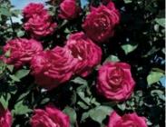Rosales Trepadores Colección Meilland ®