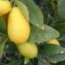 LIMEQUAT (Arbusto) - 20