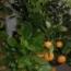 CALAMONDIN (Arbusto) - 22