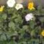 PENSAMIENTO CATS MEZCLA (28 Plantas)