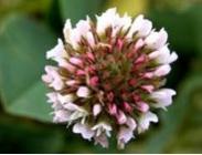 Semillas de Trébol Fresa ó Trifolium Fragiferum