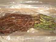 Rosales a Raíz Desnuda Universal Plantas ®