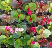 BEGONIAS SEMPERFLORENS MEZCLA (28 Plantas)