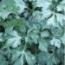 Semillas de perejil gigante de Italia
