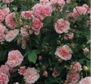 ROSAL DOMAINE DE COURSON ® - Meidrimy (Trepador)