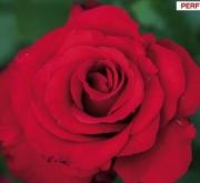 ROSAL JACQUES PREVERT® Meimouslin