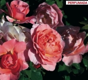 ROSAL MARIE CURIE ® - Meilomit