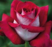ROSAL MONICA BELLUCCI ® - Meimonkeur