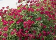 ROSAL RED DRIFT ® - Meigalpio