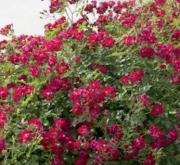 ROSAL RED DRIFT ® - Meigalpio