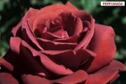 ROSAL TERRACOTTA ® - Simchoca