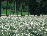 ROSAL WHITE MEIDILAND ® - Meicoublan