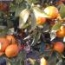 CLEMENTINA Clemenules - Cal. 8-9-10 (35 a 48 mm.) - Cat. I