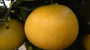 POMELO MARSH SEEDLESS - Cal. 0-1-2 (100 a +139...