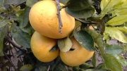 POMELO MARSH SEEDLESS - Cal. 3-4-5 (84 a 110 mm.)...