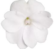 SUNPATIENS WHITE (84 Plantas).