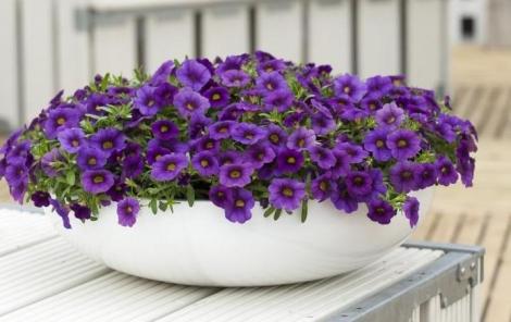 CALIBRACHOA CABARET DARK BLUE (125 Plantas).