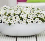 CALIBRACHOA CABARET WHITE IMP (125 Plantas).