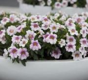 CALIBRACHOA CABARET LIGTH PINK (125 Plantas)