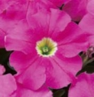 Petunias Grandiflora Dreams