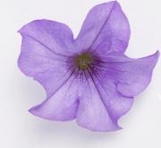 SURFINIA HEAVENLY BLUE (125 Plantas).