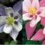 AQUILEGIA EARLYBIRD (240 Plantas).