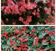 BEGONIA DRAGON WING MIX F1