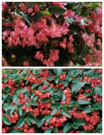 BEGONIA DRAGON WING MIX F1 (144 Plantas).
