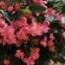 BEGONIA DRAGON WING ROSA F1 (144 Plantas).