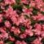 BEGONIA BENARIENSIS BIG ROSA (Hoja Bronce) F1 (144 Plantas).