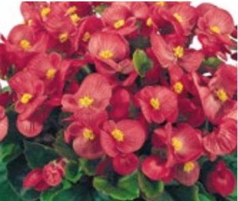 BEGONIA SUPER OLYMPIA ROSA (Hoja Verde) SEMPERFLORENS (240 Plantas).