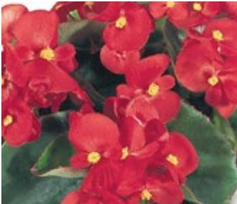 BEGONIA SUPER OLYMPIA RED (Hoja Verde) SEMPERFLORENS (240 Plantas).