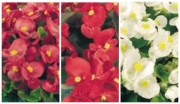 BEGONIA SUPER OLYMPIA MIX (Hoja Verde)...