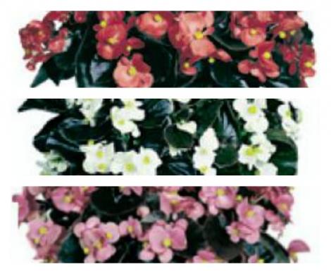 BEGONIA COCKTAIL MIX (Hoja Bronce) SEMPERFLORENS (240 Plantas).