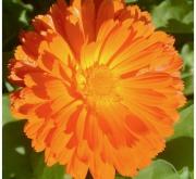 CALENDULA COSTA NARANJA (240 Plantas).