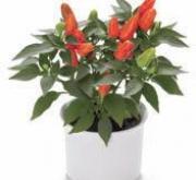 CAPSICUM CUBANA NARANJA (240 Plantas).