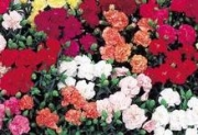 DIANTHUS DOBLE CANCAN MIX