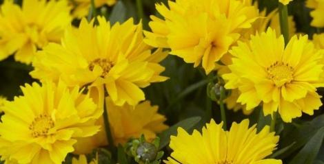 COREOPSIS EARLY SUNRISE (240 Plantas).