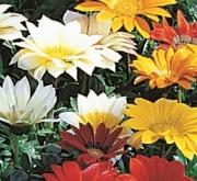 GAZANIA GAZOO MIX (240 Plantas).