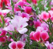 GODETIA SATIN MIX (144 Plantas).