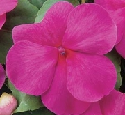IMPATIENS SUPER ELFIN XP ROSE IMPROVED
